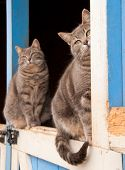 Matching pair of blue tabby cats sitting on top of a Dutch door of a blue barn