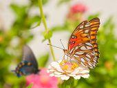 Gulf Fritillary butterfly feeding on a pale Zinnia flower