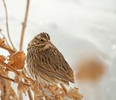 Savannah Sparrow, Passerculus sandwichensis, perched on a dry flower stalk with snowy background
