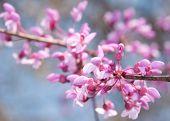 Closeup image of Eastern Redbud flowers in bloom in early spring