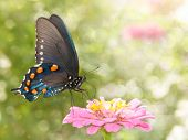 Dreamy image of a Green Swallowtail butterfly on a pink Zinnia in sunny summer garden