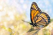 Dreamy image of a Viceroy butterfly