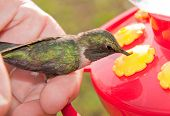 Helpful hand - human helping a hummingbird to eat at a feeder after if flew into a window and got knocked out