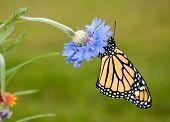 Beautiful Danaus plexippus, Monarch butterfly, resting on a blue cornflower in spring garden