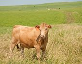 Young steer on prairie pasture in summer