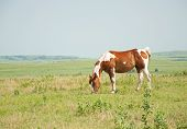 Chestnut and white paint horse grazing in pasture against wide open prairie background