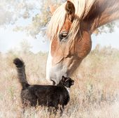 Dreamy image of a small black cat and a huge Belgian Draft horse snuggling - friendship without limi