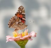 Painted Lady, Vanessa cardui butterfly feeding on light pink Zinnia