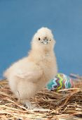 Adorable fluffy Easter chick looking at the viewer, against blue background