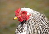 picture of brahma  - Handsome Light Brahma bantam rooster - JPG