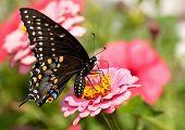 ventralen Blick auf einen östlichen schwarz Schwalbenschwanz in einem Garten