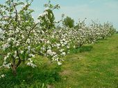 apple-garden blooming