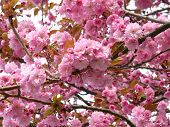 Prunus yedoensis or Japanese cherry-tree