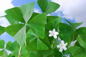 Lucky Flowering Shamrocks
