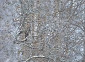 Great Grey Owl (strix Nebulosa) Successfully Camouflaged While Perched In A Tree In Winter, Finland. poster