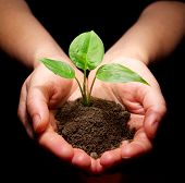 stock photo of planting trees  - Hands holding sapling in soil  - JPG