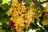 Juicy ripe bunch of grapes Chardonnay. The vineyards of Greece. poster