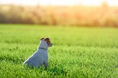 Jack russel terrier on green field. Happy Dog with serious gaze poster