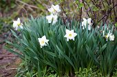 White narcissus on grass in a garden