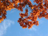 Fall Oak Branches And Sky poster