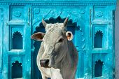 Indian holy cow in front of the tipical Indian house, Orchha, Madhya Pradesh, India