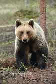 Beautiful Brown Bear Female (ursus Arctos) Photographed From The Front While Walking In The Northern poster