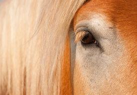 stock photo of gentle giant  - Gentle Eye of a blonde Belgian Draft Horse gelding - JPG