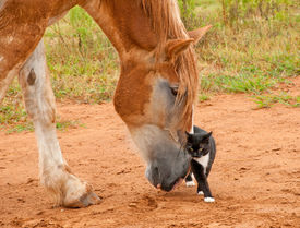 stock photo of gentle giant  - Belgian Draft horse pushing his little kitty cat friend with his huge nose - JPG