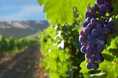 foto of moscato  - grapes on a background of mountains and vineyards - JPG