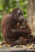 Orangutan With Baby