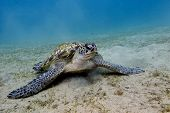 great sea turtle on the bottom of red sea