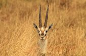 Thomson's Gazelle Headshot