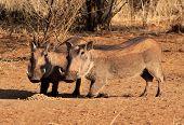 Alert Warthogs Eating Pellets