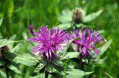 Pink Flower Of The Monarda Horsemint