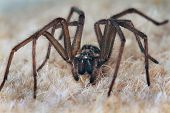 Male house spider.