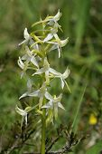 Pequena borboleta orquídea