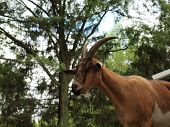 Goat Against Trees