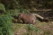picture of wombat  - An Australian wombat in the wild standing in sunlight just outside its burrow - JPG