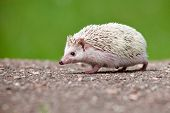adorable african hedgehog outdoors