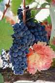 Wine Grapes Ready For Harvesting