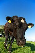 Meadow Cow