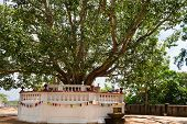 Sacred Fig Tree In A Buddhist Temple