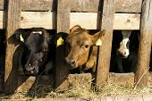 stock photo of feedlot  - Black and brown Cows feeding hay in a farm - JPG