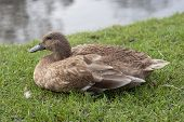 Cute Mallard Female Duck Bird