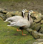 Bar-headed Gooses
