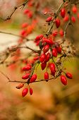 Wild Rose-hips On The Bush