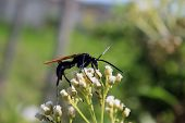 image of small-hawk  - A Tarantula Hawk Spider Wasp pollinating a small white flower on a bush in Cotacachi - JPG