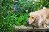 Miniature Long Hair Dachshund In The Flower Garden