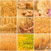 Collage With Beautiful  Golden wheat