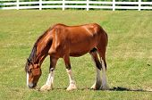 stock photo of clydesdale  - Young Clydesdale horse on a farm - JPG